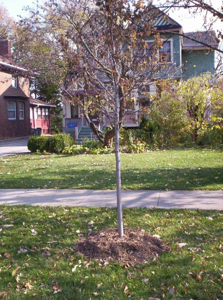 Newly planted tree in front of a green neighborhood house.