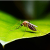 mosquito-on-green-leaf