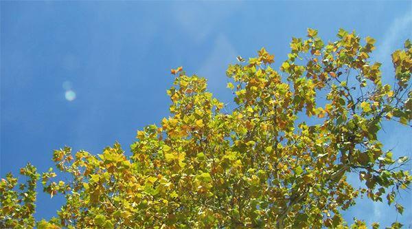 Bright blue sky behind a green tree changing colors