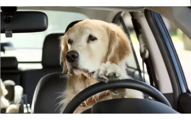 Golden-Retreiver-Driving-Car