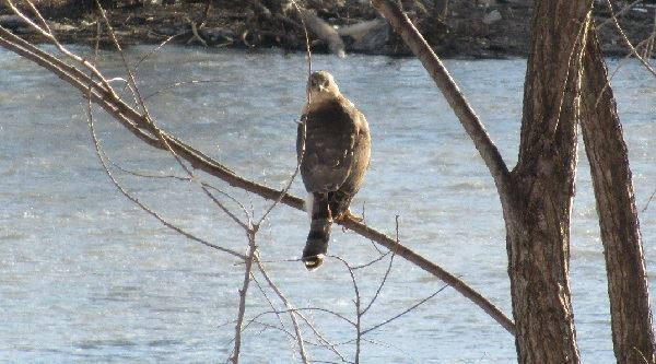 Hawk on Tree near River
