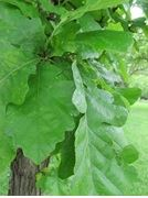 Bur Oak Leaves