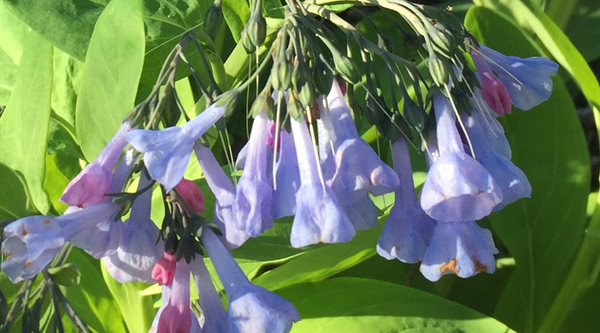 Image Footer - Virginia Bluebells - Collins - 3-11-2021